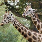 Где живут жирафы (места обитания) ?