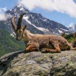 Где живут козы (места обитания) ?