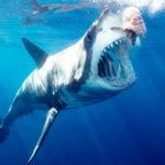 Что едят большие белые акулы ?