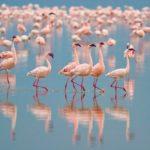 Где живут фламинго (места обитания) ?