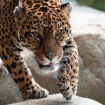 Где живут ягуары (места обитания) ?