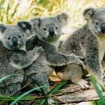 Где живут коалы (места обитания) ?