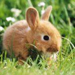 Сколько живут кролики в дикой природе ?