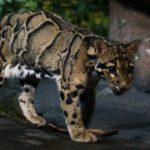 Где живут леопарды (места обитания) ?