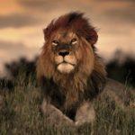 Сколько живут львы в дикой природе ?