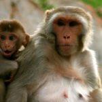 Сколько живут обезьяны ?