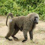 Где живут бабуины (места обитания) ?