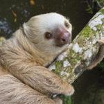 Где живут ленивцы (места обитания) ?