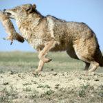 Где живут койоты (места обитания) ?
