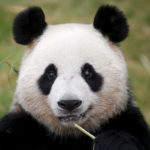 Сколько живут панды в неволе ?