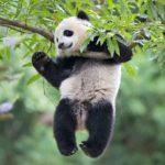 Сколько живут панды в дикой природе ?