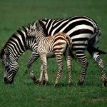Сколько живут зебры в дикой природе ?