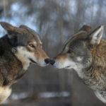 Где живут красные волки (места обитания) ?