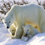 Сколько живут белые медведи в дикой природе ?