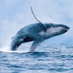 Где живут горбатые киты (места обитания) ?