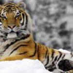 Где живут сибирские тигры (места обитания) ?