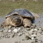 Где живут каймановые черепахи (места обитания) ?