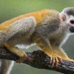 Где живет обезьяна саймири (места обитания) ?