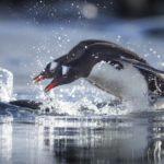Что едят пингвины ?