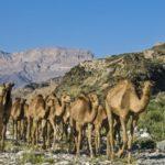 Где живут верблюды (места обитания) ?