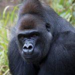 Где живут гориллы (места обитания) ?