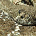 Где живут Гремучие змеи (места обитания) ?