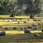 Где живут овцы (места обитания) ?