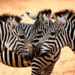 Сколько живут зебры ?