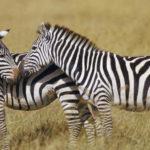 Что едят зебры ?