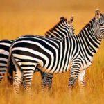 Сколько живут зебры в неволе ?