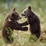 Сколько живут бурые медведи ?