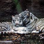 Сколько живут белые тигры ?