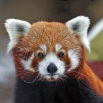 Сколько живет красные панды ?