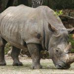 Сколько живут носороги ?