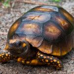 Сколько живут каймановые черепахи ?