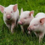 Сколько живут свиньи ?