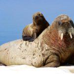 Сколько живут моржи ?