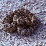 Что едят гремучие змеи ?