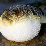 Сколько живет рыба фугу (иглобрюх) ?