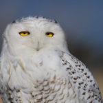 Сколько живут белые совы ?