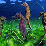 Что едят морские коньки ?