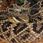 Сколько живет гремучие змеи ?