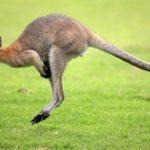 Сколько живут кенгуру ?