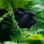 Сколько черных пантер осталось в мире?