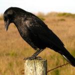 Вороны как домашние животные ?