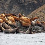 Как быстро может плавать морской лев ?