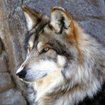 Сколько весит волк ?