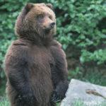 Что едят медведи ?