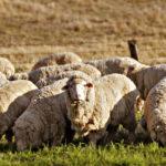 Что едят овцы ?