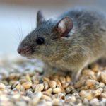 Сколько живут мыши ?